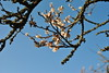 Spring Sakura (Obubu Tea Farms) Tags: sakura tea blossom springblossom japan japanese japanesetea wazuka