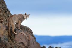 _NGR1054Puma2 (ninograngetto@hotmail.com) Tags: puma torresdelpaine chile gato felino nikon