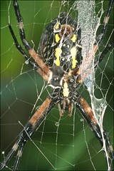 Black and Yellow Argiope (muledriver) Tags: spiders lakekatherine webs nature macro