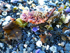 Look what's washed up (jo.elphick) Tags: seashells beach sunset seaweed australia darkbeach nsw