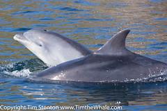 BND Bottlenose dolphin (Tursiops truncatus) 24 Aug-16-5948 (tim stenton www.TimtheWhale.com) Tags: bnd blackisle bottlenosedolphin cetacean commonbottlenosedolphin cromarty delphinidae dolphin ecoventures highland mammal morayfirth odontocetes scotland tursiopstruncatus uk
