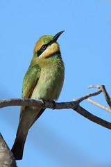 Rainbow Bee-eater (Janis May) Tags: eastpoint rainbowbeeeater