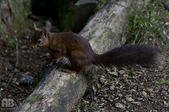 2016-09-21-041 (Andy Beattie Photography) Tags: andybeattie andybeattiephotography england europe halifax hawes mammal nature naturephotographer naturephotography northyorkshire photographer photography portraitphotographer redsquirrel rodent sciurusvulgaris squirrel uk weddingphotographer westyorkshire wildlife wildlifephotographer wildlifephotography yorkshire