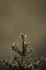 Netted (>>Marko<<) Tags: luonto syksy pine spider web net backlight morningdew drop droplet fall morning nature outdoor plant tree mnty verkko seitti hmhkki suomi finland canon valokuvaus