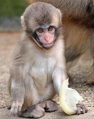 japanese macaque artis JN6A3306 (j.a.kok) Tags: makaak macaque japansemakaak japanesemacaque artis