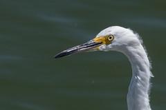 Elegant, Snowy Egret Close-Up (MelRoseJ) Tags: sanrafael california unitedstates lasgallinas snowyegret birds nature sonyalpha sal70400g sony sonyilca77m2 a77ii alpha autofocus