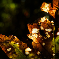 Another Autumn Stroll (Stu Knowler) Tags: closeup macro autumn welcombe devon leaf autumnal 1x1