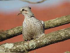 Pomba de bando (Zenaida auriculata) (Frank Thomas Sautter) Tags: eareddove fledgling
