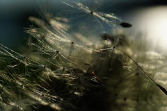 Daisies in panic: Quickly spread  the last seeds with the strong wind. (detlefgabriel17) Tags: daisy daisies gnseblmchen blumen weed wildkraut blossom blte seed seeds samen natur nature backlight gegenlicht field wiese meadow closeup makro macro extensiontubes zwischenringe tiefenschrfe depthoffocus niedersachsen stade nahaufnahme