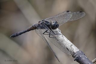 Schwarze Heidelibelle (Sympetrum danae) - Männchen