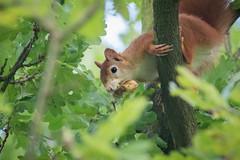Red Squirrel (Jens Goos) Tags: squirrel hazelnut nature mammals animals outdoor oak tree close sciurus vulgaris canon 400mm