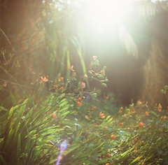 (photoCKD) Tags: 2016 july taiwan nantou hasselblad503cx carlzeissplanartf2880mm fujichromeprovia100f120format rdpiii mediumformat 120 6x6 square sunmoonlake flower sunny sunlight
