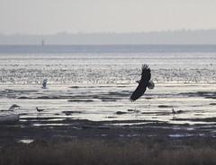 Bald Eagle (glenbodie) Tags: glen bodie glenbodie dncb dike 201350 bald eagle