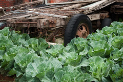 Cabbage and abandoned oxcart