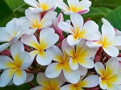 White Shell Plumeria (OffdaLipp) Tags: pink flowers white yellow garden plumeria gardening exotic tropical blooms