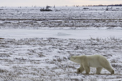 "Polar Bear crossing the tundra outside Churchill • <a style=""font-size:0.8em;"" href=""http://www.flickr.com/photos/92120860@N06/8453682621/"" target=""_blank"">View on Flickr</a>"