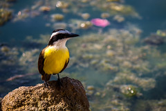 Bananaquit: caribbean bird