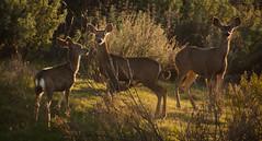 Sunset Deers (AryehLevine) Tags: california park nature grass animal nikon wildlife tail hill doe sage deer socal ear buck hoof aryeh mule tallgrass antler calabasas levine d90 hoove californiawildlife prestine