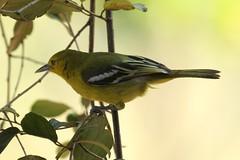 Common Iora (Alastair Rae) Tags: india aegithinatiphia birds