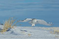 # 9176 Lift Off (Mark Williams Photographer) Tags: birdsinflight raptorsinflight birdsofpreyinflight snowyowlinflight