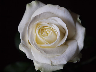 Róża-dla-Ciebie Rose-for-you Rose-für-dich Rose-pour-vous
