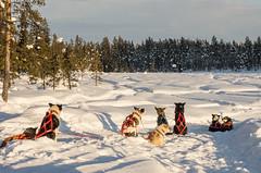 Waiting to start again (davidwphotos) Tags: icehotel sweden ice hotel jukkasjarvi kiruna snow dog sledge sleigh huskey lapland winter frozen swedenice
