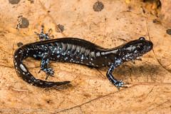 Ambystoma laterale (John P Clare) Tags: blue wisconsin conservation amphibian spot salamander mole hybrid complex newt bluespottedsalamander ambystomalaterale bluespot