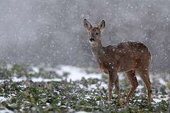 Sous la neige. (raphal21370) Tags: winter nature wildlife hiver deer chevreuil mammifres chevrette