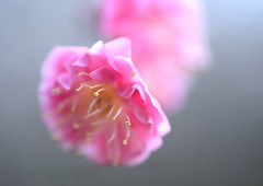 Japanese Apricot:梅花 (love_child_kyoto) Tags: pink flower macro nature spring kyoto february botanicalgarden マクロ 梅 春 春天 japaneseapricot 早春 紅梅 二月 うめ prunusmume ネイチャー masterphotos 京都府立植物園 岡本梅林 nikond800 mindigtopponalwaysontop 木の花 東風吹かば マスター写真 ニコンd800 dreamlikephotos 春告草 桃栗三年柿八年柚の馬鹿野郎十八年梅はすいすい十六年 好文木 初名草 香散見草 風待草 匂草 梅伐らぬ馬鹿