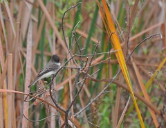Eastern Wood Peewee (tkmckinn) Tags: auto photography is friend flash owp