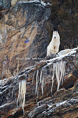 A Mountain Goat's Icy World (Daryl L. Hunter - The Hole Picture) Tags: winter cliff usa cold proud unitedstates alpine snowing wyoming majestic icicles mountaingoat verticalworld snakeriverrange mountaingoatonacliff