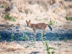 "Wild dog (Ajak) Cuon alpinus <a style=""margin-left:10px; font-size:0.8em;"" href=""http://www.flickr.com/photos/87204834@N03/8530236273/"" target=""_blank"">@flickr</a>"