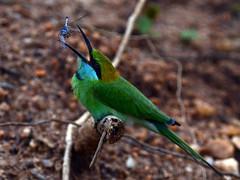 SRI LANKA (BoazImages) Tags: park wild green nature asia little wildlife south national srilanka yala beeeater boazimages