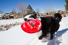 Run and Smile (Anda74) Tags: winter red snow action wideangle frisbee bordercollie ouzo canonef1740mmf4lusm oldnavy