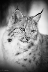 Lynx seen in black and white (nemi1968) Tags: wild portrait blackandwhite bw cat canon fur nose eyes ngc npc lynx gaupe langedrag catfamily eurasianlynx ef70200mmf4lisusm