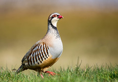 Red-leg (Chalto!) Tags: red bird french hampshire newforest partridge redlegged needsore