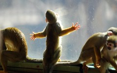 Squirrel Monkey (floridapfe) Tags: animal zoo monkey squirrel korea everland squirrelmonkey