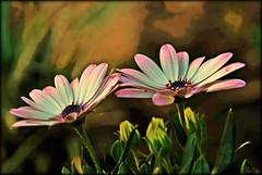 Untitled (mutter2009 *OFF*) Tags: flowers ngc naturesfinest coth theworldwelivein supershot nikond60 fantasticnature theunforgettablepictures natureselegantshots alittlebeauty coth5