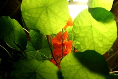 3.9.13 (umimnchnda) Tags: flowers orange green 365 hostiletakeover pleasepleaseplease nastarium pleaseexplorethis