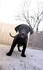Josephina at 8 weeks (Immature Animals) Tags: rescue baby black animal fence eyes backyard lab labrador desert tucson tail jose adorable marshall pima derek bark tiny paws volunteer josephina runt spay koalition pacc derekmarshall barktucson backpacc