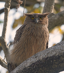 Brown Fish Owl (Koshyk) Tags: bird wildlife owl corbett birdwatcher corbettnationalpark uttarakhand dhikala corbetttigerreserve brownfishowl ketupazeylonensis ramganga fishowl ketupa