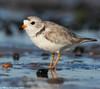 Another plover (v4vodka) Tags: bird nature animal wildlife birding longisland birdwatching plover pipingplover charadriusmelodus westmeadowbeach pipingploverchick sieweczka siewka