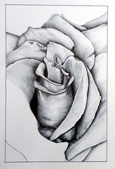 Rose, by  Elisa (Dona Mincia) Tags: bw flower art rose painting paper drawing flor rosa monochromatic pb study desenho pintura bolgrafo ballpointpen degrad tonsurton canetabic
