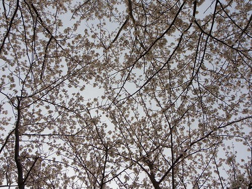 Cherry Blossoms_20130326154841