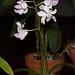 Holcoglossum amesianum – Lisa Humphreys