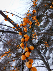 Berries (Lukinator) Tags: schnee winter orange brown white snow macro nature creek landscape countryside bush ast branch branches natur bach environment brook braun wintertime makro ste beeren landschaft weiss stalk busch umgebung makros nahe wasserlauf stngel orangefarben purlieus