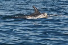 Risso's Dolphin Grampus griseus (Hugh Harrop Wildlife Photography) Tags: uk islands scotland britain dolphin great off dolphins british shetland rissos grampus cetacean griseus