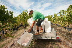 Vintage at Te Mata in Hawkes Bay (Murray Lloyd Photography) Tags: autumn red newzealand sun sunshine photography vineyard estate wine photos winery wellington handpicked nzl hawkesbay cabernetfranc temata bullnose 2013 handpicking murraylloydphotography