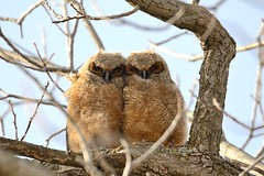 Young Great Horned Owls [1614] (cl.lin) Tags: bird love nature birds nikon midwest birding twin sigma iowa owl owls greathornedowl owlet d600 sigma50500mm sigmatc14x