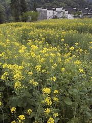 Jiangxi (Nelson Chee) Tags: flowers wuyuan jiangxi conola
